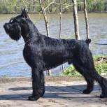 Ризеншнауцер щенки чёрного окраса, Воронеж